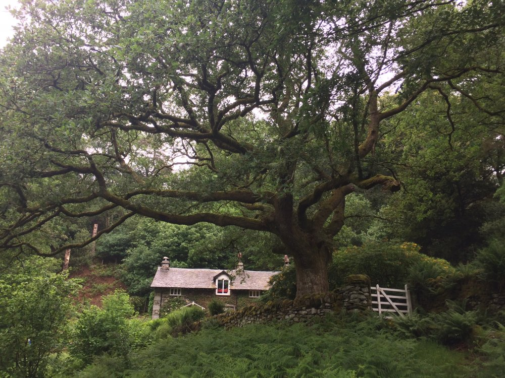 The 150 year old oak tree at 3 Tarn Cottage, Grasmere